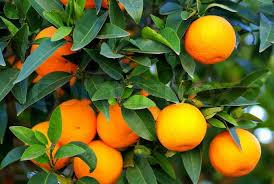 buy stock photos of fruit trees colourbox