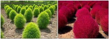 kochia spectacular ornamental plant for your landscape design