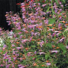 agastache cuisine fragrant annuals select seeds