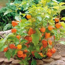 Indoor Flowers Physalis Peruviana Lovely In Fall But Grow In A Pot Or It U0027ll