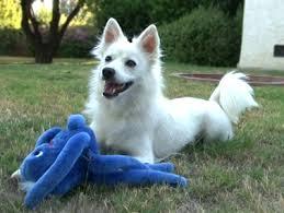 american eskimo dog adoption american eskimo dog heidi