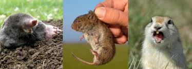Moles Blind Gopher Mole And Vole Control Strategies Safe Rodent Control