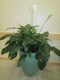 peace lily file peace lily 35022572422 jpg wikimedia commons