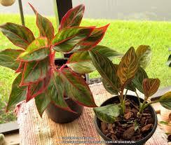 aglaonema houseplants forum new aglaonema added to the houseplant