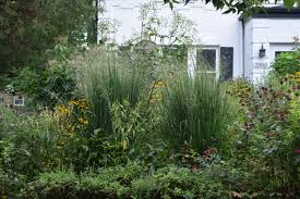 the best ornamental grass in the universe gardeninacity