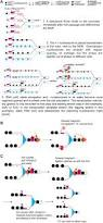 dynamics of nucleosome positioning maturation following genomic