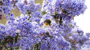 ceanothus california lilac and red bottom bumblebee
