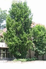 fagus fastigate upright european beech tree blerick trees buy