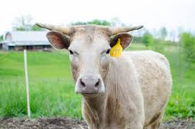 family milk cow 101 homesteaders of america
