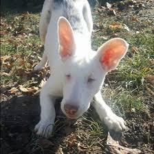 australian shepherd 6 months dog day fridays for april 21