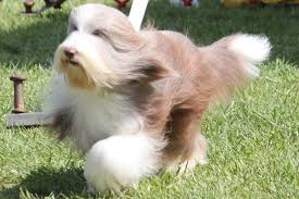 bearded collie brown bearded collie breed information bearded collie images bearded