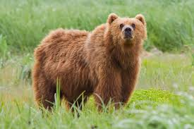 brown bear wikipedia