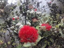 native hawaiian plants for sale ohia lehua tree native hawaii birds and plants pinterest