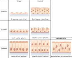 Anatomy Slides Anatomy Of Stratified Columnar Epithelium Human Anatomy Classes Of