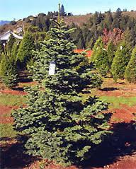 live tree farm sonoma ca