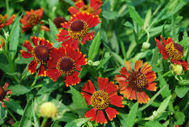 Late Blooming Perennials 10 Perennials For Late Summer And Fall Color Costa Farms