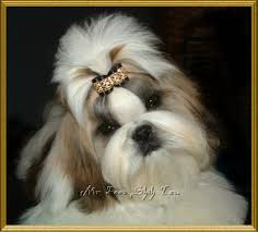 pictures of shorkie dogs with long hair small dog owners eye goop question
