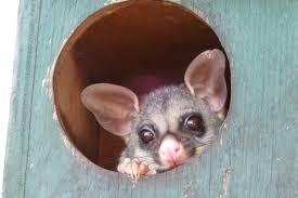 Possum In My Backyard Brushtail Possum U2013 My Wild Australia
