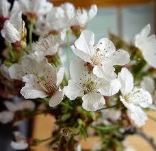 white cherry blossom buy white cherry blossom online jpg 1522775969