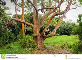 rainbow eucalyptus trees stock photos images u0026 pictures 111 images