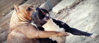 american pitbull terrier in uk league against cruel sports dog fighting