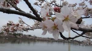 National Cherry Blossom Festival by The National Cherry Blossom Festival Washington Dc Tidal Basin