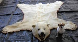 polar bear skin rug roselawnlutheran