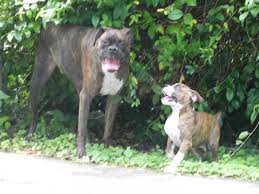 2 female boxer dogs together mixing boxer sexes my own bf study boxer forum boxer breed
