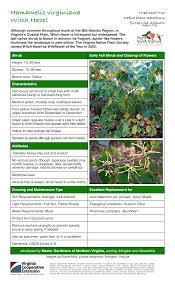 nevada native plant society hamamelis virginiana witch hazel master gardeners of northern
