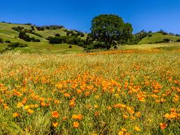 ask the naturalist where are the flowers on mount diablo bay