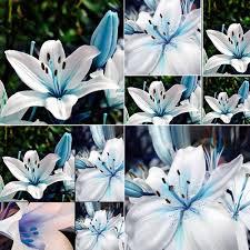 blue seed amazon com 50pcs blue rare lily bulbs seeds planting flower