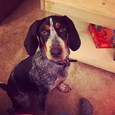 bluetick coonhound reviews dogs u0027 best friend 136 photos u0026 15 reviews pet sitting 225d