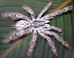 ornamental baboon tarantula