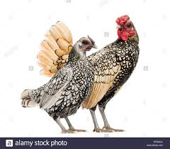 golden sebright bantam rooster and silver sebright bantam hen in