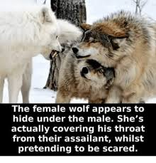 Meme Wolf - the female wolf appears to hide under the male she s actually