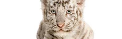 white siberian tiger cub facts and information