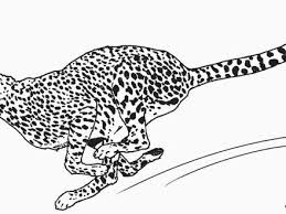 cheetah coloring pages 100 images coloring pages cheetah
