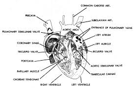 sketch diagram of heart human heart diagram labeled human heart