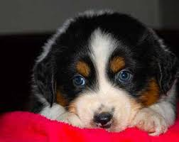 australian shepherd dog puppies australian shepherd breeders california