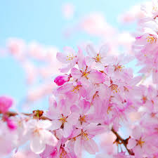 cherry blossom pics cherry blossom fragrance oil