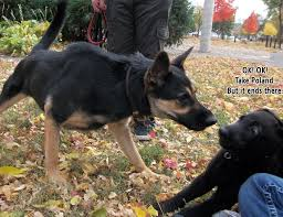 German Shepherd Memes - just got a german shepherd puppy here he is meeting another of his