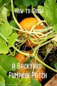 how to grow a backyard pumpkin patch the parsimonious princess