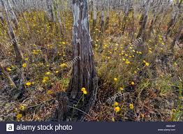 bald cypress in hardwood hammock shelter wildflowers during dry