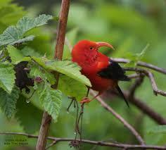 Blind Snake Hawaii Encounters With The Birds Of Hawai U0027i Volcanoes U2013 National