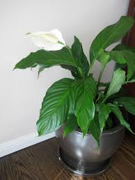 house plants identify by pic go back u003e images for u003e flowering