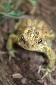 95 best toads images on pinterest frogs reptiles and amphibians