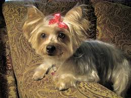 pictures of yorkie haircuts styles hairs picture gallery