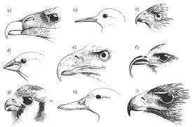 birds of prey worksheet solution curvy beaks challenger u2013 match