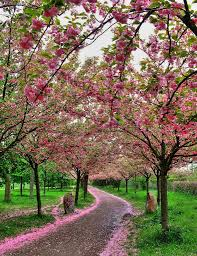 i want a long driveway lined with blossoming trees or