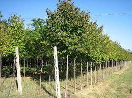 albero giardino piante ornamentali da giardino vivai piante gabbianelli